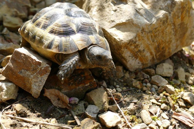 """maurische Landschildkröte """"Askari"""""""