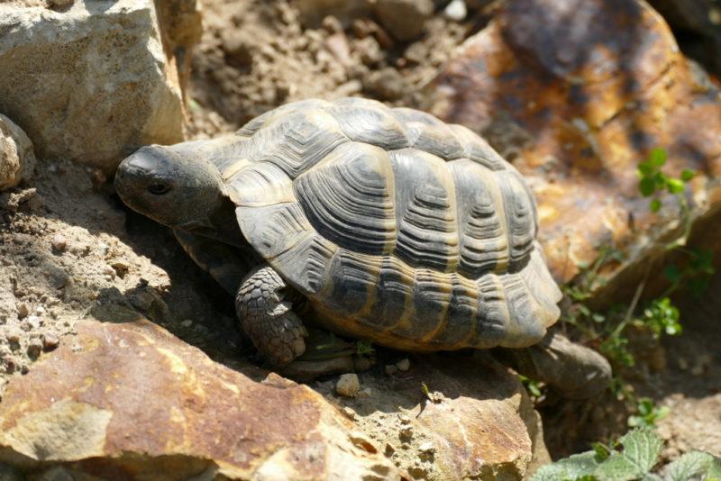 """griechische Landschildkröte """"Philemon"""""""