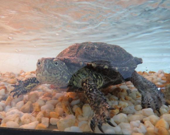 Sumpfschildkröte E13