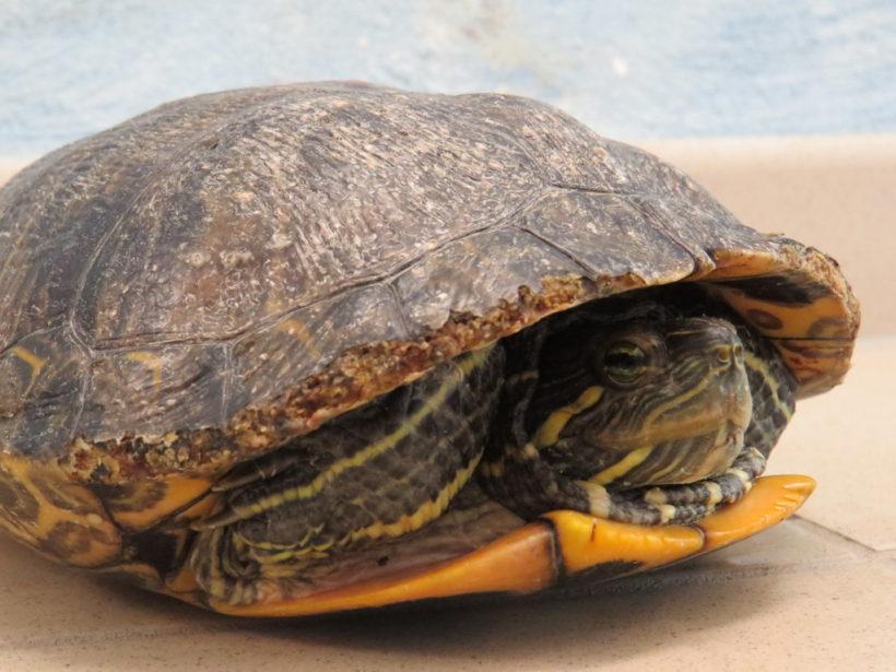 Rotwangenschmuckschildkröte E4