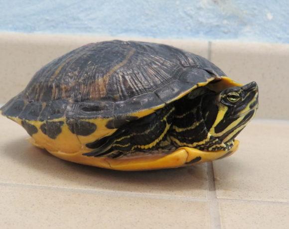 Gelbwangenschmuckschildkröte E8