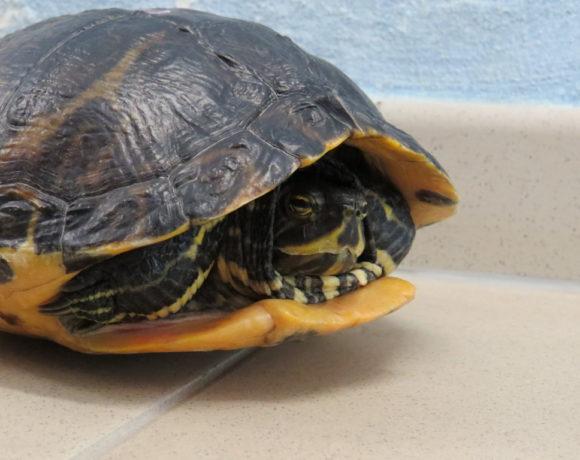 Gelbwangenschmuckschildkröte E12