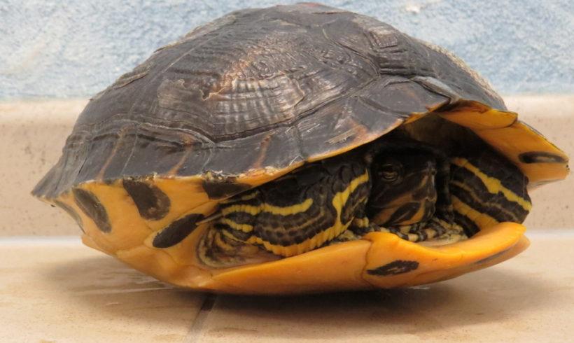 Gelbwangenschmuckschildkröte E14