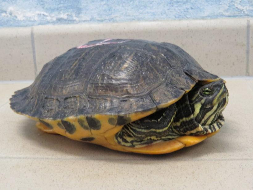 Gelbwangenschmuckschildkröte E17