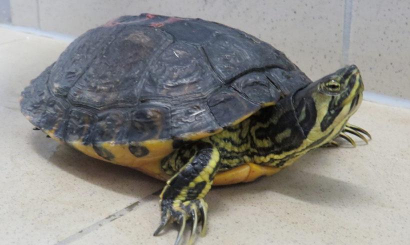 Gelbwangenschmuckschildkröte E23