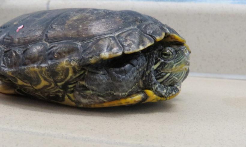 Rotwangenschmuckschildkröte E40
