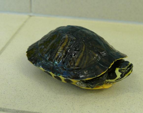 Gelbwangenschmuckschildkröte E-07