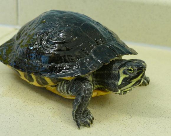 Gelbwangenschmuckschildkröte E-08
