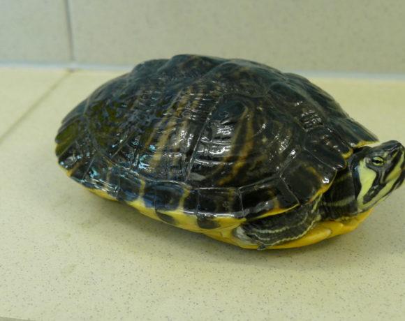 Gelbwangenschmuckschildkröte E-09