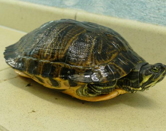 Gelbwangenschmuckschildkröte