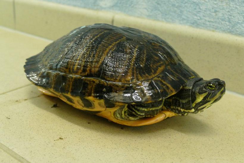 Gelbwangenschmuckschildkröte E-15