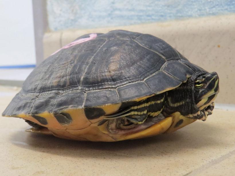 Gelbwangenschmuckschildkröte E-46