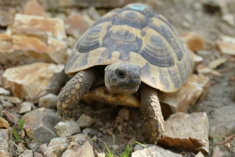 """griechische Landschildkröte""""Feta"""""""