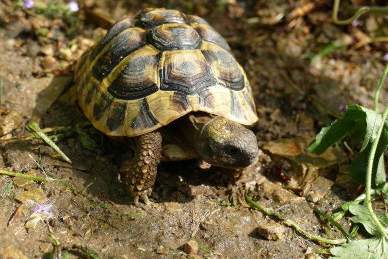 "griechische Landschildkröte ""Tzatziki"""