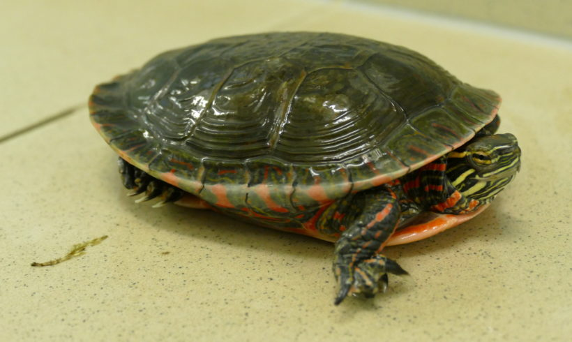 westliche Zierschildkröte E-52