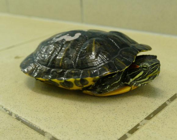 Rotwangenschmuckschildkröte E-04