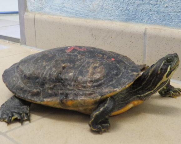 Hieroglyphenschmuckschildkröte E-06