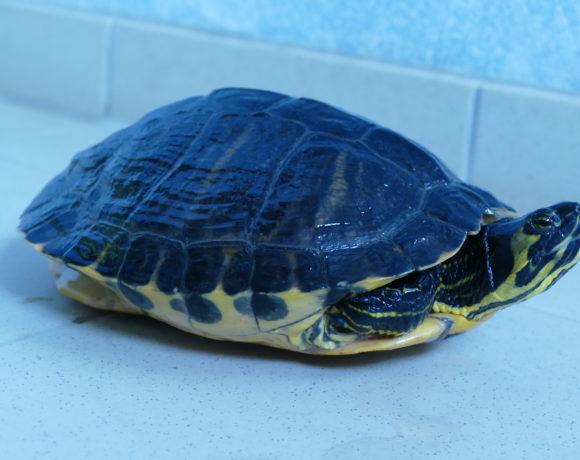 Gelbwangenschmuckschildkröte E-17