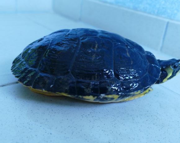 Gelbwangenschmuckschildkröte E-16