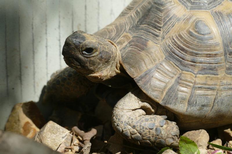 """maurische Landschildkröte """"Sadid"""""""