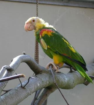 Doppelgelbkopf-Amazone männlich