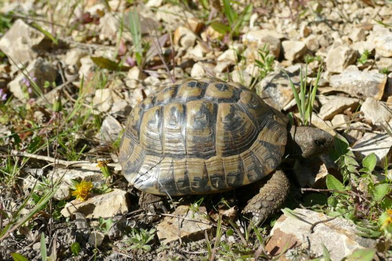 """griechische Landschildkröte """"Kos"""""""