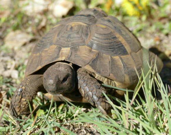 """griechische Landschildkröte """"Costa Cordalis"""""""