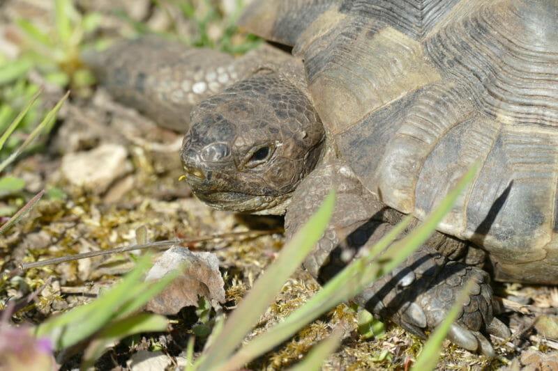 """maurische Landschildkröte """"Tulu"""""""