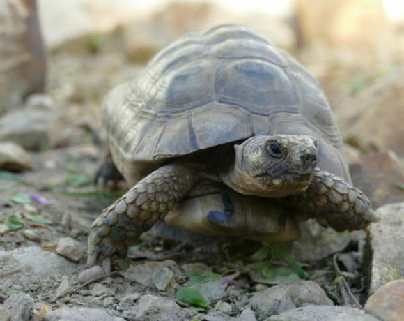 """maurische Landschildkröte """"Tarkan"""""""