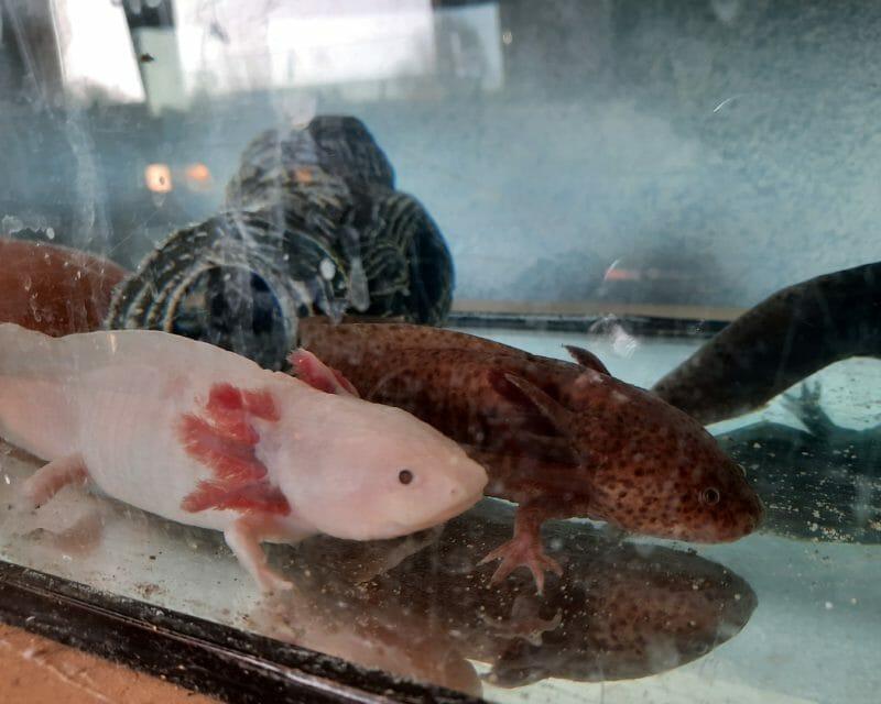 9 Axolotls