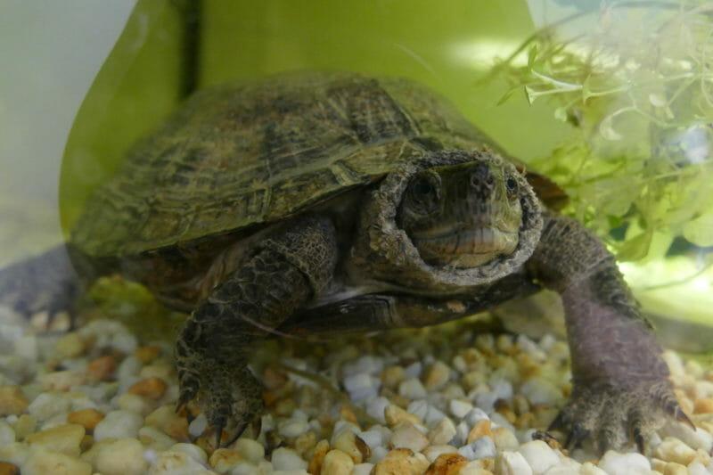 Indomalaiische Blatt- oder Dornschildkröte