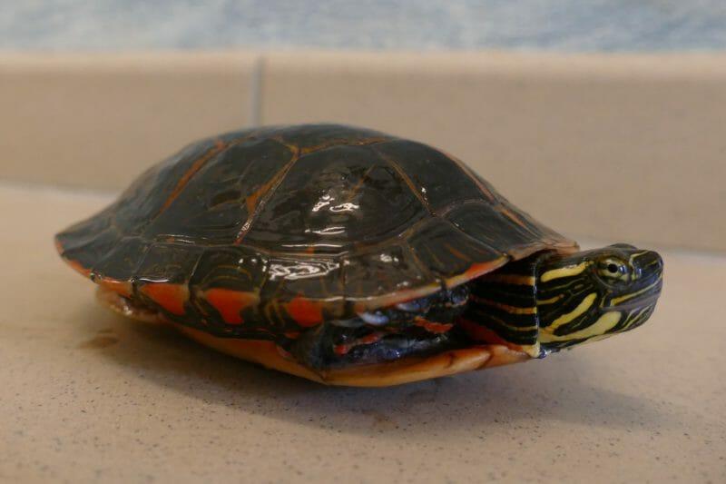 Rückenstreifen-Zierschildkröte