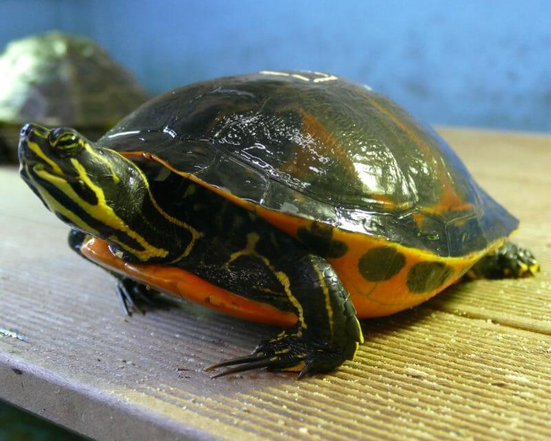 nördliche Rotbauchschmuckschildkröte