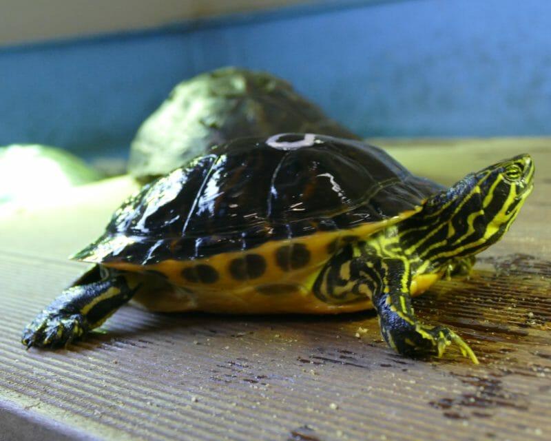 Peninsula-Schmuckschildkröte