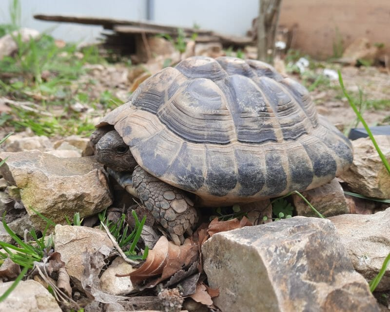 """griechische Landschildkröte """"Ilias"""""""