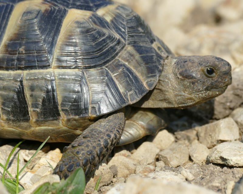 "maurische Landschildkröte ""Stöpsel"""