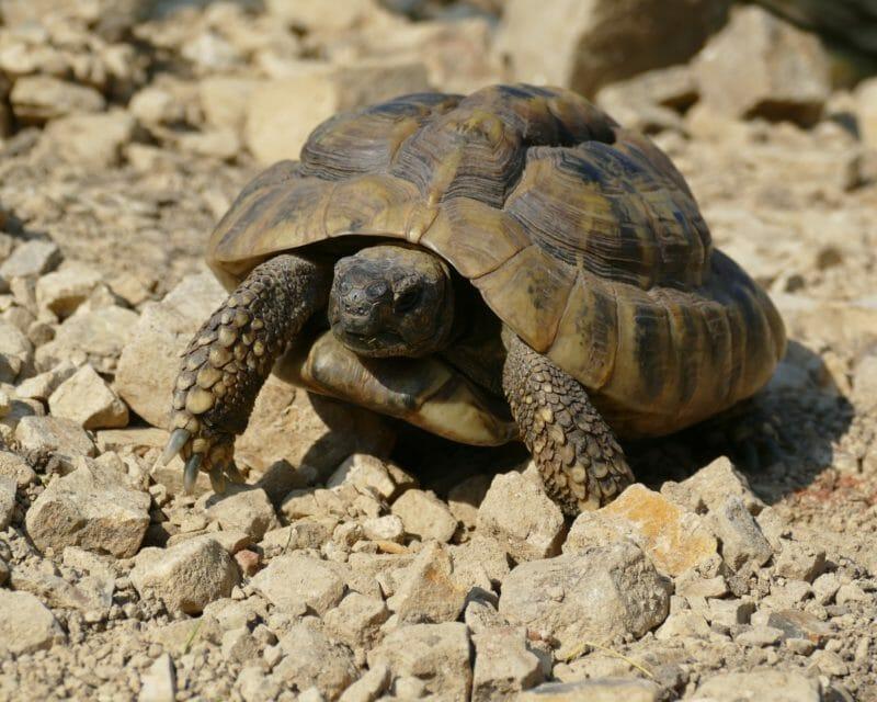 """griechische Landschildkröte """"Thales"""""""