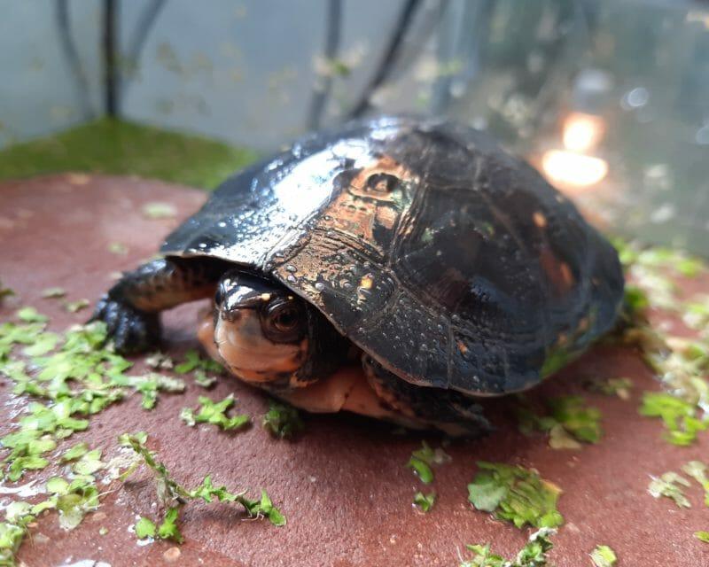 Tropfenschildkröten